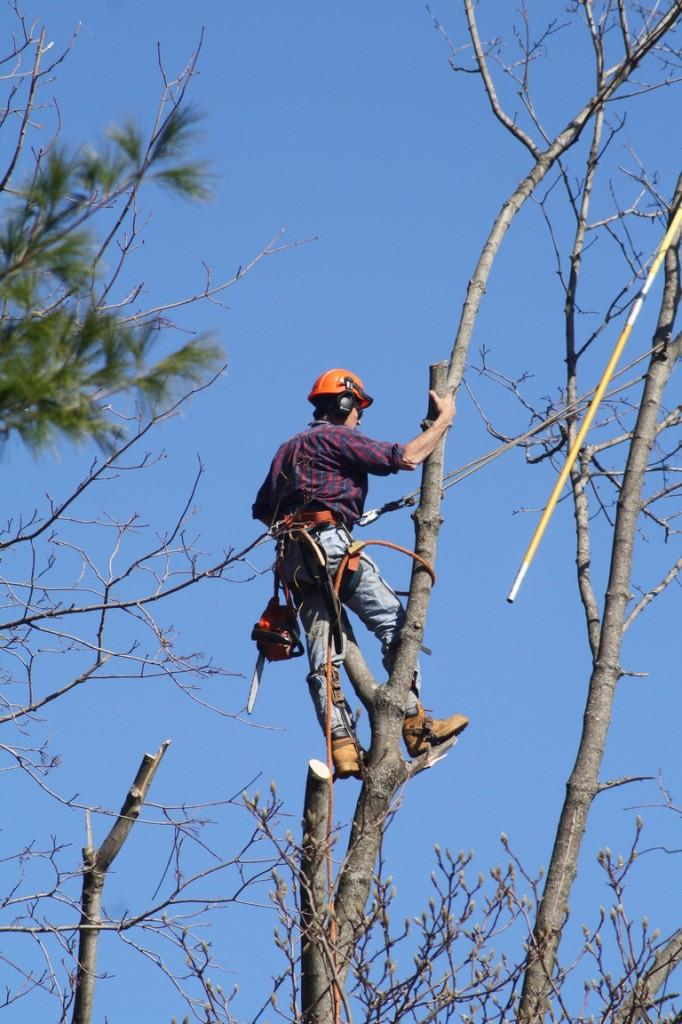 A worker stands atop of a tree that had its limbs tangled in electrical wires at 34 Burr Farms Rd.  | Photo by Lucas Hammerman '10
