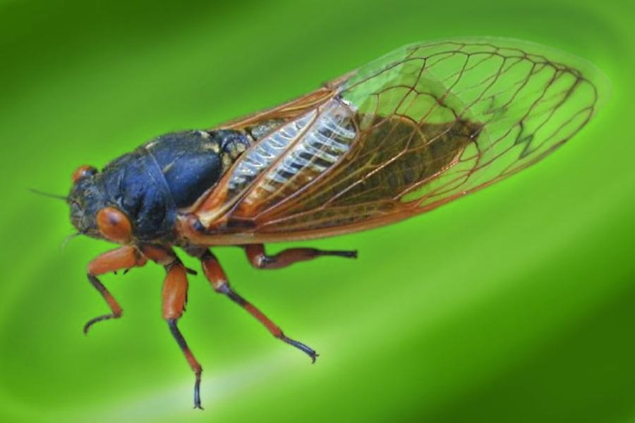 How to Survive the Cicada Invasion