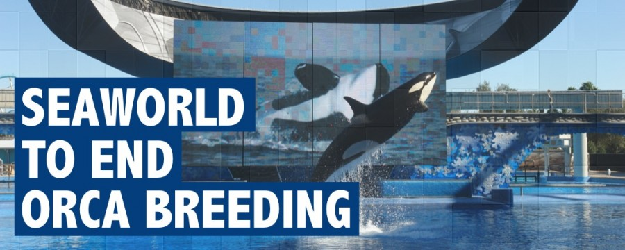 SeaWorld will end Orca breeding starting 2017