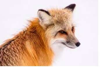 Growing fox population inhabits Westport residents