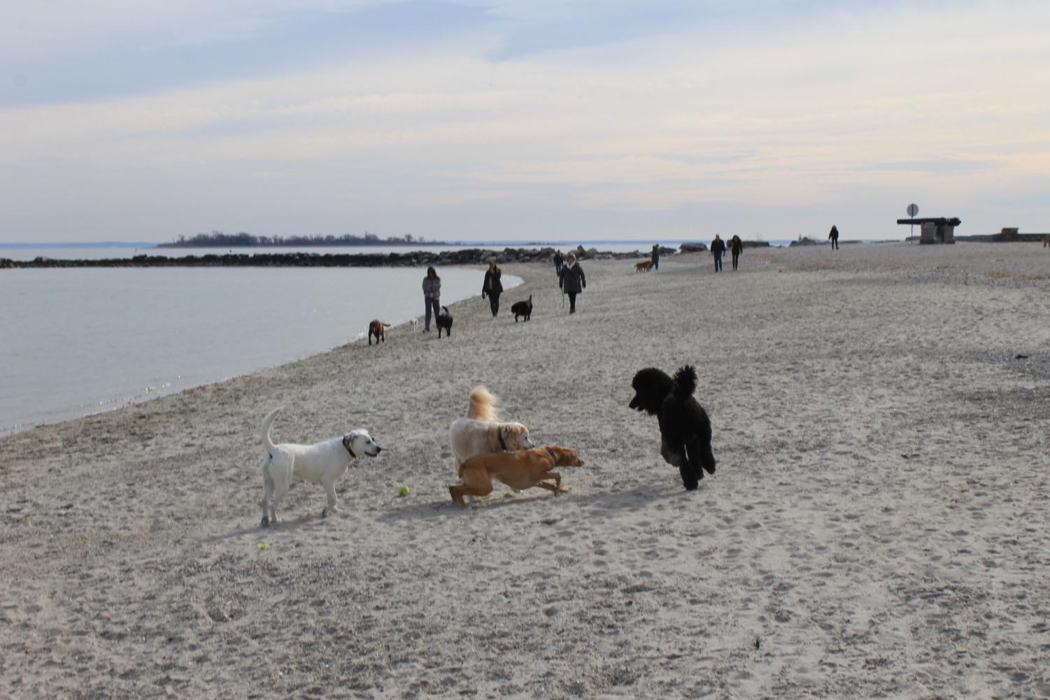 Three Westport dogs play at Compo Beach while the area is still open to animals