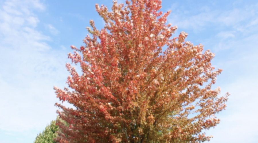 The+fall+season+comes+to+Westport+as+the+temperature+drops+and+leaves+begin+to+change+color.