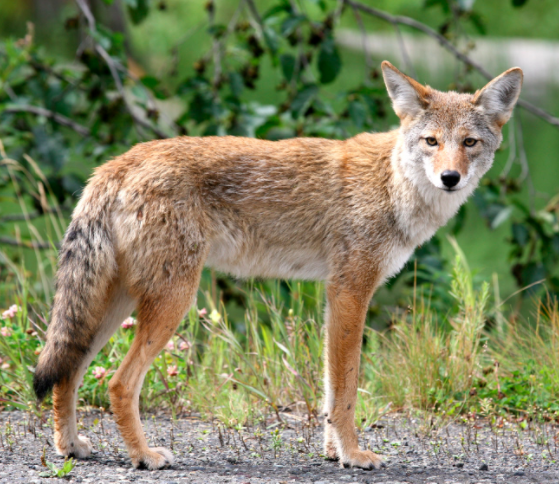 Westport Police alert residents of Coyote attacks