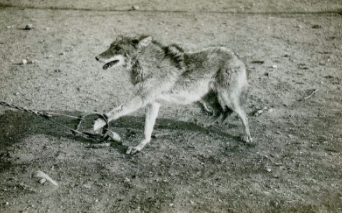 Amendment to legalize coyote trapping fails