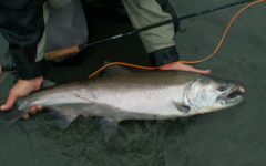 Salmon population declines due to human activity