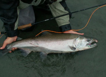 An excess of salmon fishing may contribute a decrease in the salmon population.