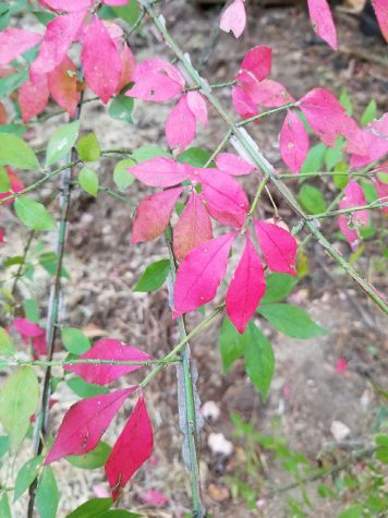 Crimson leaves (pictured above), have an abundance of chlorophyll that gives them their vivid red color.