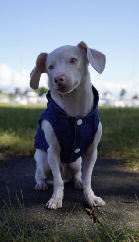 Piglet the deaf, blind, pink puppy poses outside Longshore Club Park. His book is set to be published on Aug. 3, 2021.